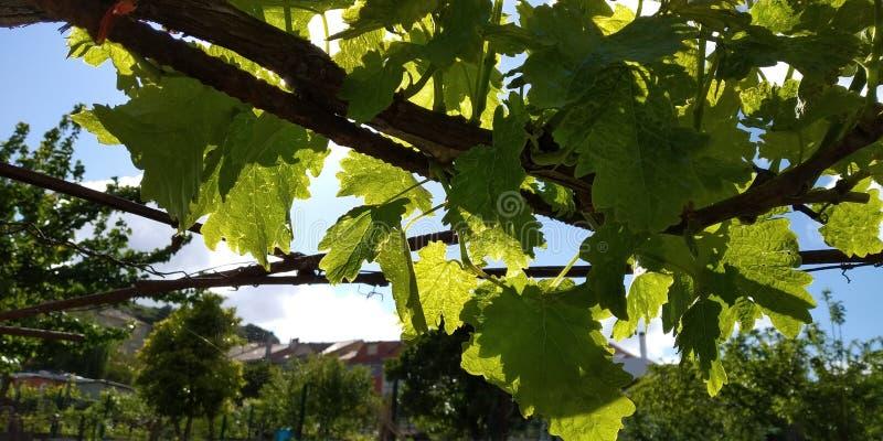 Grüne Blätter von Weintrauben, frisch Die nähe der blühenden Weinreben, die Traubenblüte während des Tages Traubenernte auf Reben lizenzfreies stockfoto