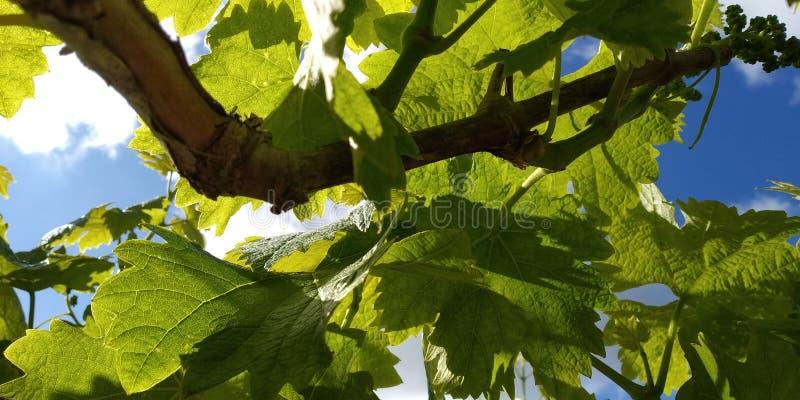 Grüne Blätter von Weintrauben, frisch Die nähe der blühenden Weinreben, die Traubenblüte während des Tages Traubenernte auf Reben lizenzfreie stockbilder