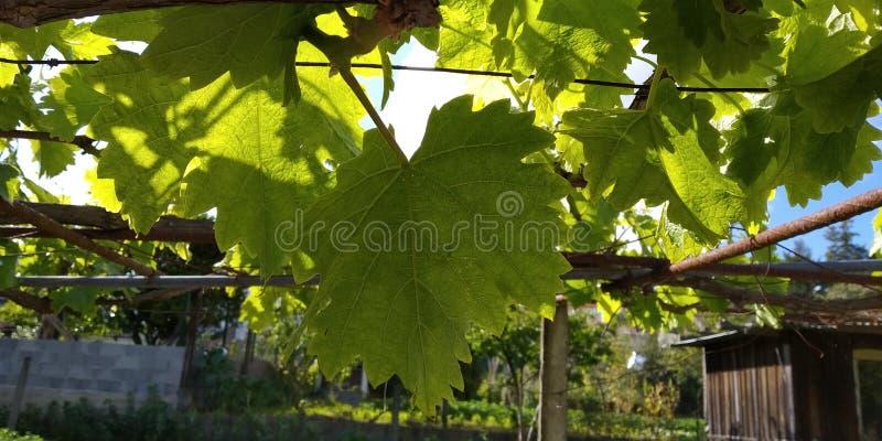 Grüne Blätter von Weintrauben, frisch Die nähe der blühenden Weinreben, die Traubenblüte während des Tages Traubenernte auf Reben stockbilder