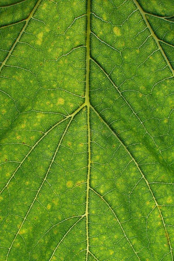 Grüne Blattbeschaffenheit mit Blattfaser lizenzfreies stockfoto