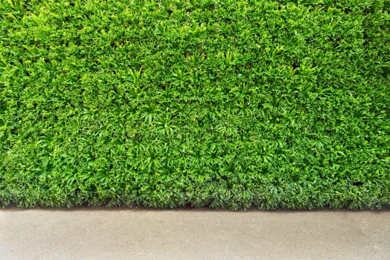 Grüne Blattwand und -hintergrund stockbild