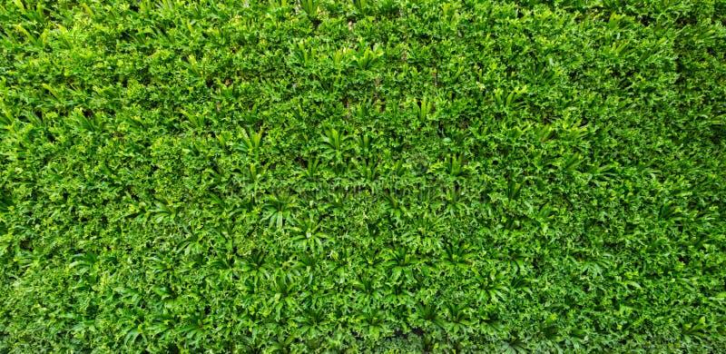 Grüne Blattwand und -hintergrund lizenzfreie stockfotos