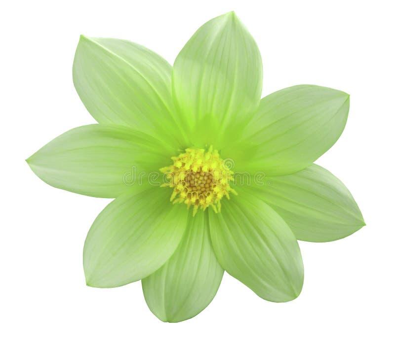 Grüne Blume des Gartens, Weiß lokalisierte Hintergrund mit Beschneidungspfad nahaufnahme lizenzfreies stockfoto