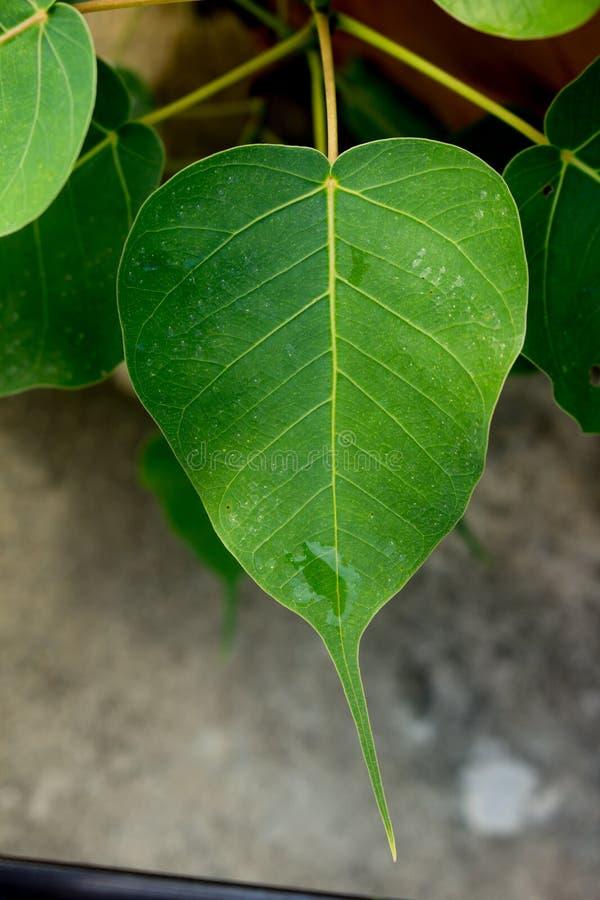 Grüne bodhi Blattader auf dem Baum lizenzfreies stockfoto