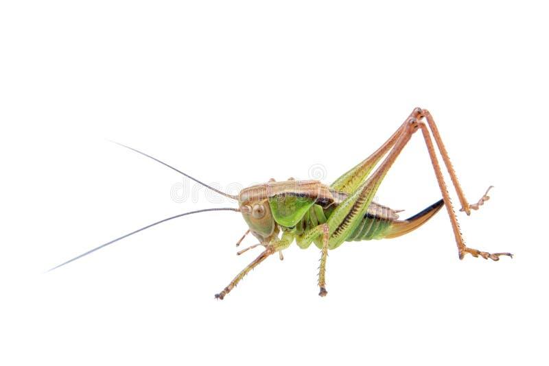 Grüne braune Heuschrecke auf einem weißen Hintergrund stockfotos