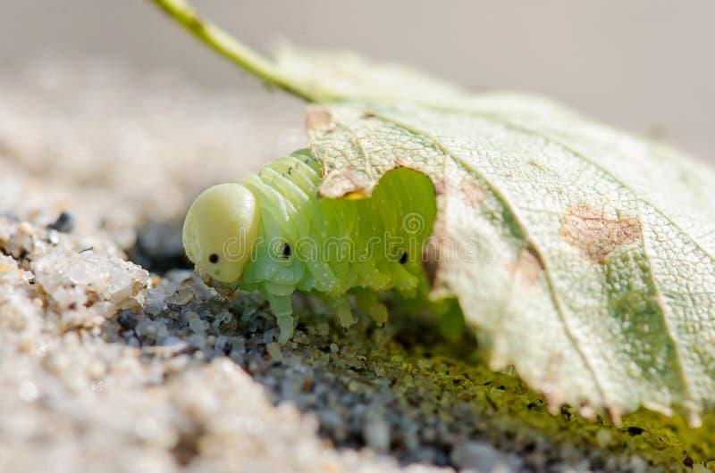 Grüne Caterpillar-Nahaufnahme auf einem hellen Hintergrund unter Blatt lizenzfreie stockfotografie