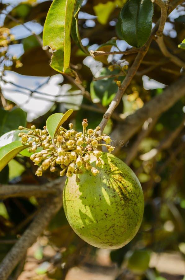 Grüne Chrysophyllum Cainito-Frucht und Blüte stockfotos
