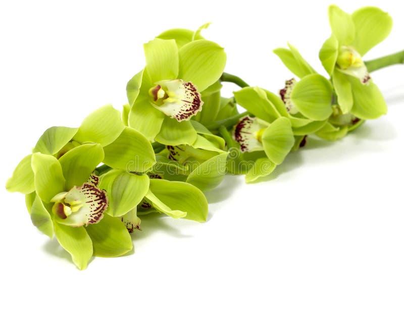 Grüne Cymbidium-Orchidee auf weißem Hintergrund lizenzfreies stockbild