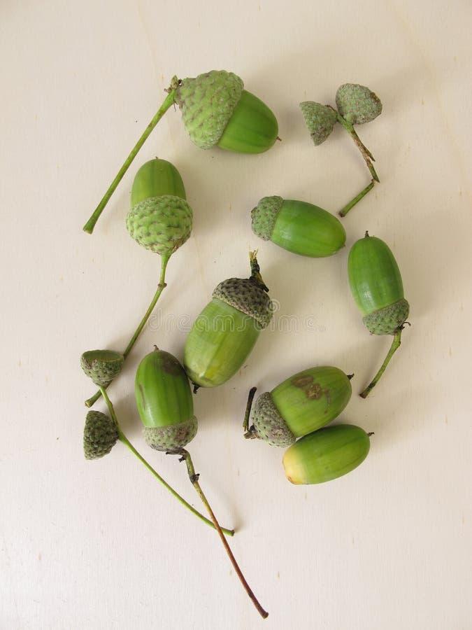 Grüne Eicheln im Spätsommer stockbilder