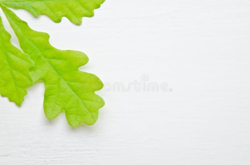 Grüne Eichen-Blätter stockbilder