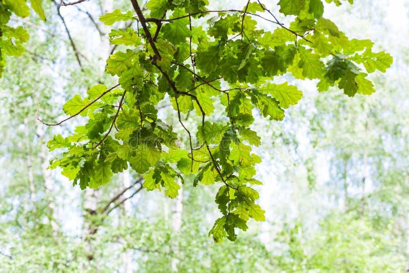 Grüne Eichenniederlassung im Wald am sonnigen Sommertag stockfotografie