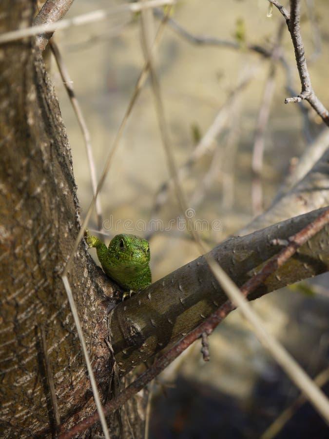 Grüne Eidechse lizenzfreie stockfotos