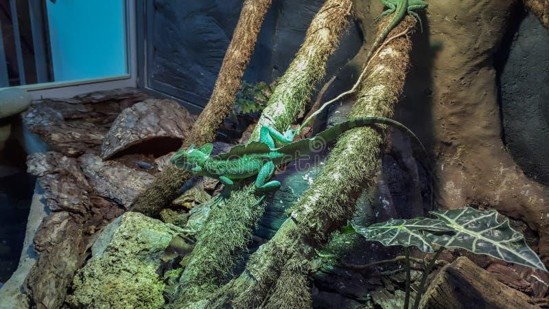 Grüne Eidechse auf den Bäumen lizenzfreies stockbild