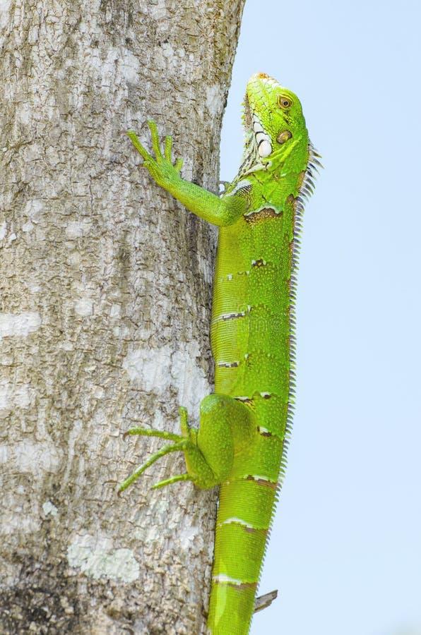 Grüne Eidechse auf einem Baumstamm, bekannt als Leguan stockfotografie