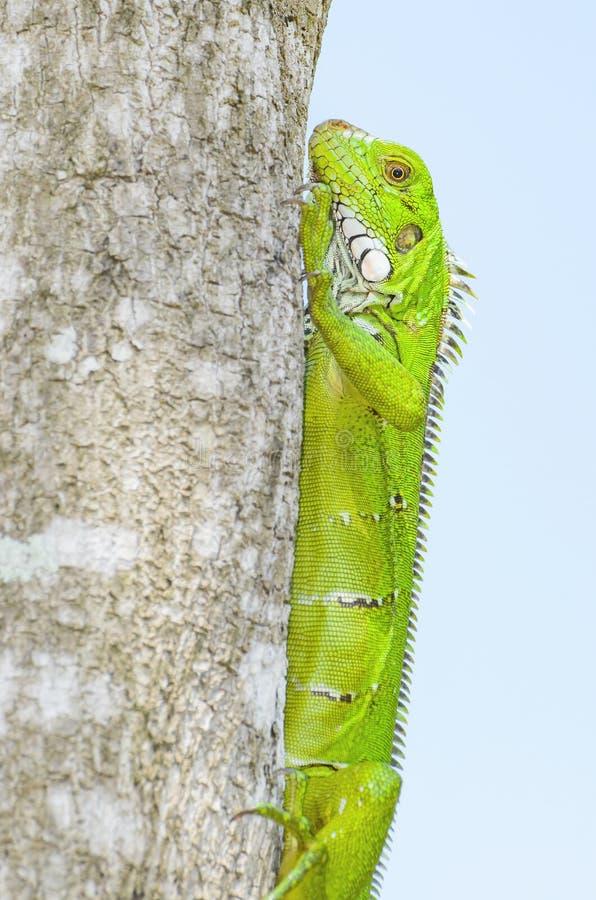 Grüne Eidechse auf einem Baumstamm, bekannt als Leguan lizenzfreie stockbilder