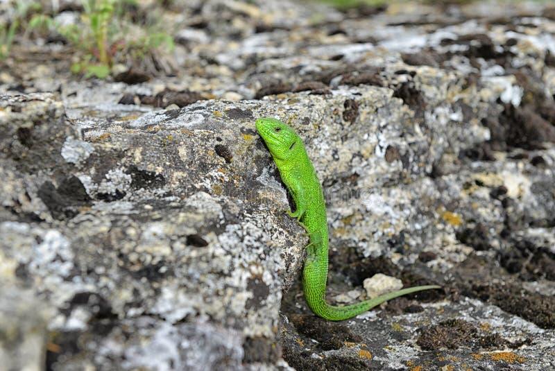 Grüne Eidechse auf einem Felsen lizenzfreies stockbild