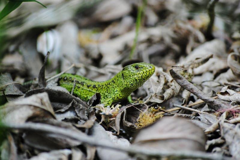 Grüne Eidechse in den natürlichen Bedingungen lizenzfreies stockbild