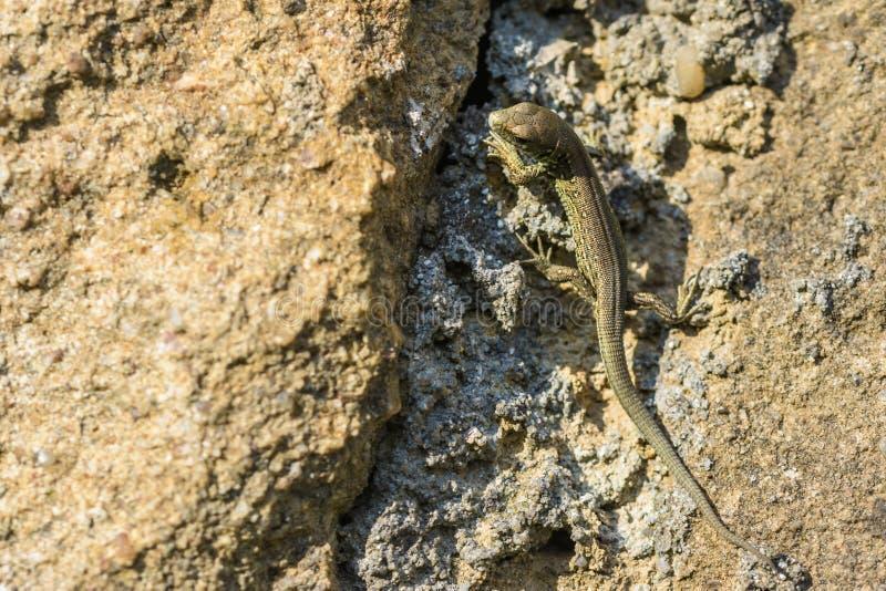 Grüne Eidechse, die auf dem Felsen sich aalt stockfotografie