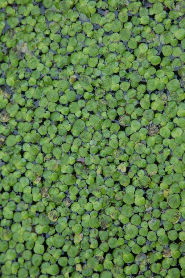 Grüne Entengrütze auf dem Wasser, schöne Beschaffenheit in natürlichem lizenzfreie stockfotos