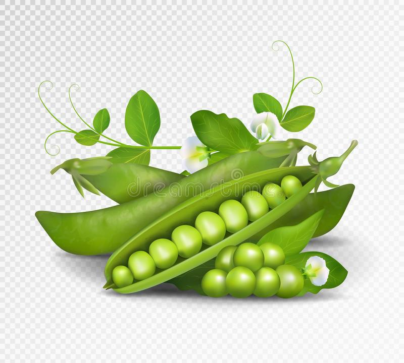 Grüne Erbsen des Vektors Foto-realistische Vektorhülsen von grünen Erbsen mit Blättern und Blumen auf transparentem Hintergrund G vektor abbildung