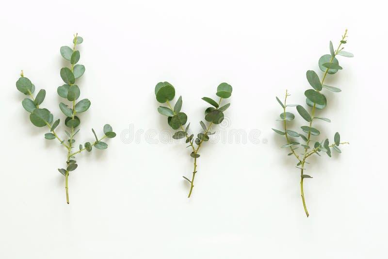 Grüne Eukalyptusniederlassungen auf weißem Hintergrund lizenzfreies stockbild