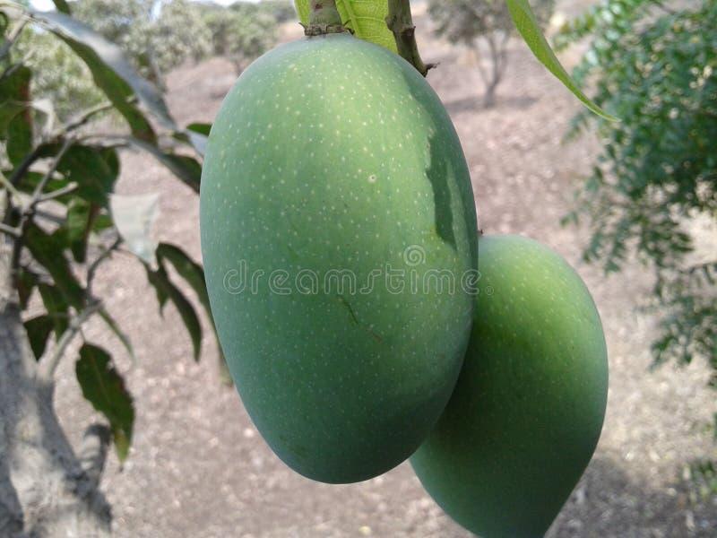 grüne Farbe der Frischemango lizenzfreies stockfoto