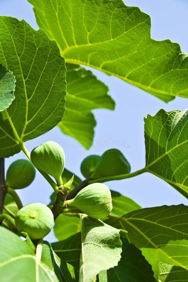 Grüne Feige und Blätter. lizenzfreies stockbild