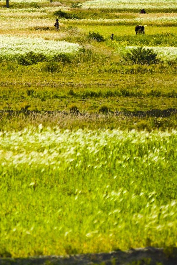 Grüne Felder in Tibet stockfoto