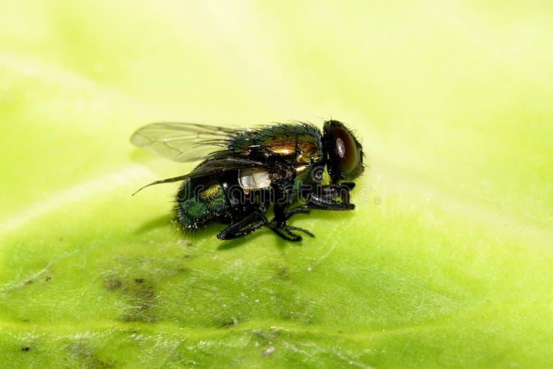 Grüne Fliege auf der Seitenansicht des Blattes stockfoto