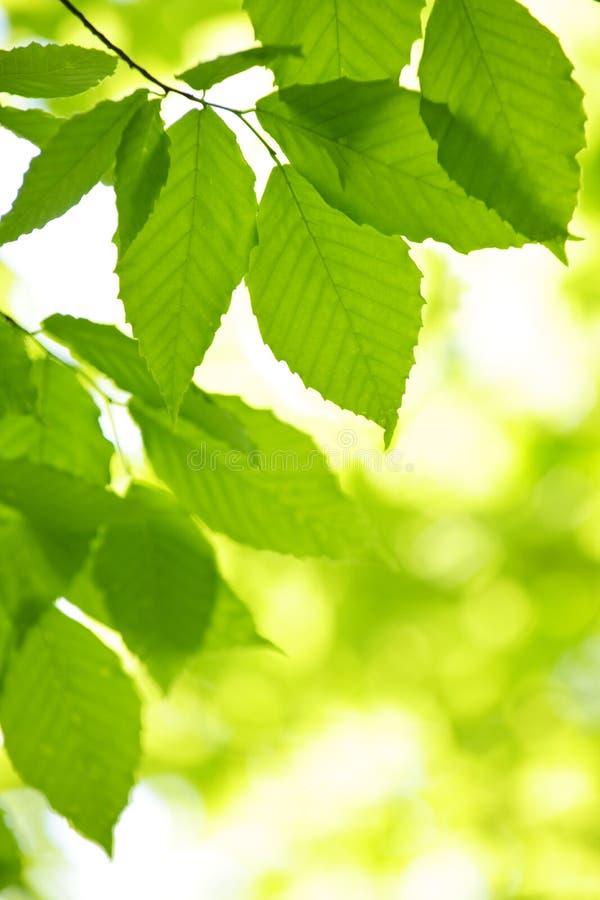 Grüne Frühlingsblätter stockfoto