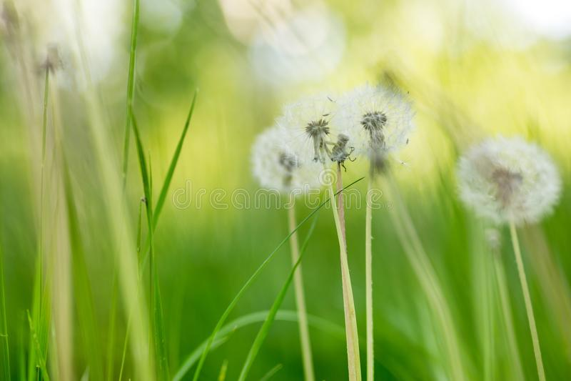 Grüne freh Wiese mit schönen fluffydandellions Natürlicher weicher Sommer- oder Frühlingshintergrund Flache Schärfentiefe Weicher lizenzfreie stockfotos