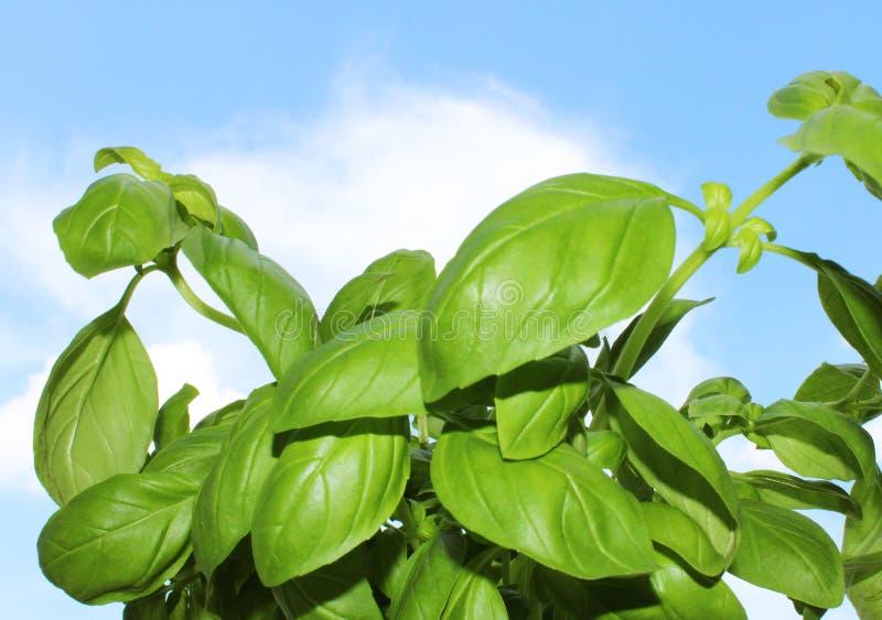 Grüne frische Basilikumkrautanlage in der Sommerzeit lizenzfreie stockfotos