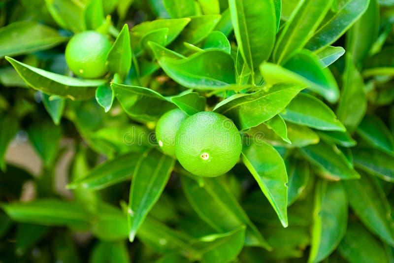 Grüne Frucht des Orangenbaums reifend auf seiner Niederlassung - Kroatien, Insel Brac lizenzfreies stockbild