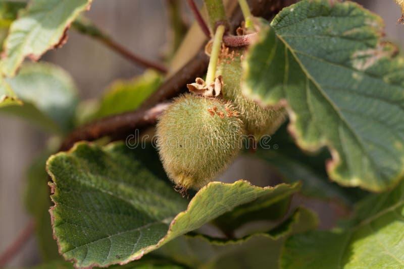 Grüne Frucht eines Kiwi Actinidia deliciosa stockbilder