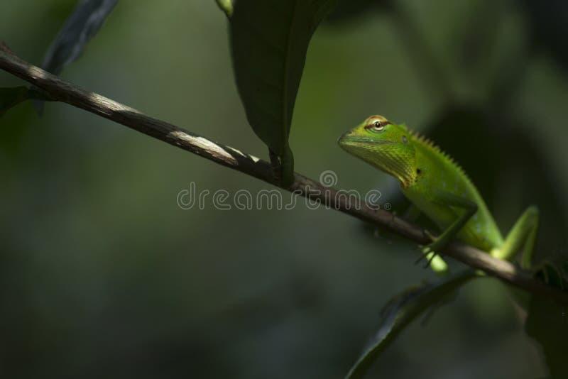 Grüne Garten-Eidechse im Baum lizenzfreie stockfotografie