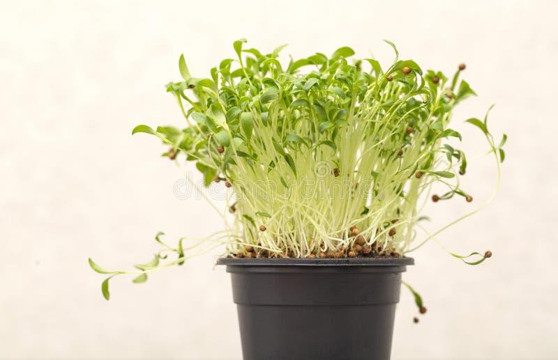 Grüne gekeimte Koriandersprösslinge mit Samen in einem Topf auf einem hellen Hintergrund stockfotos