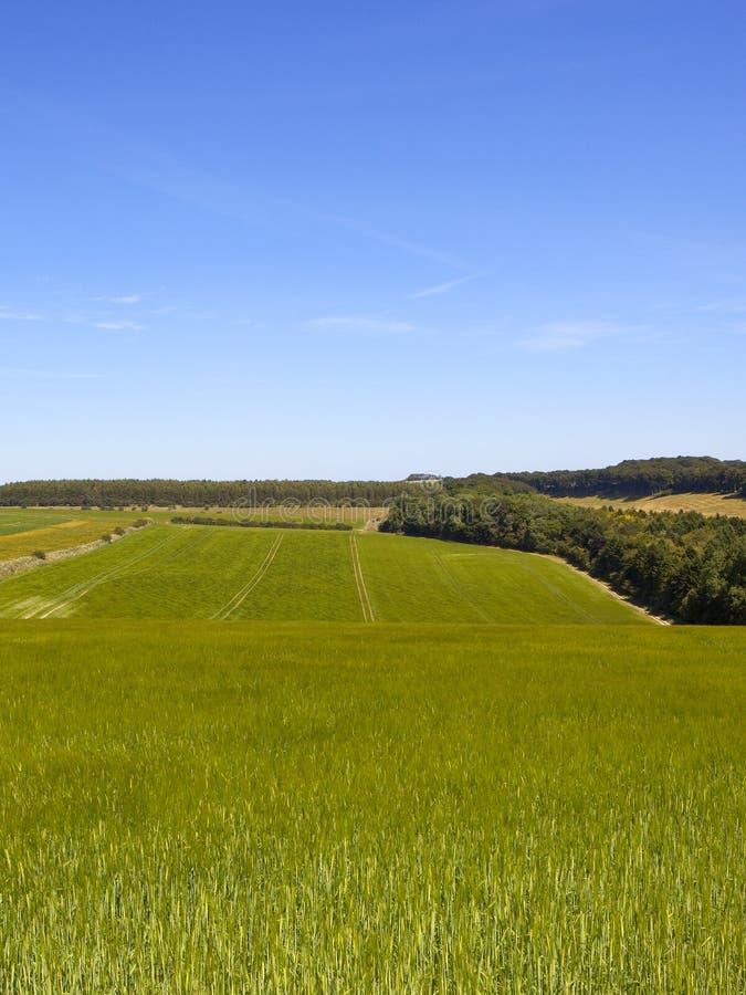 Grüne Gerstenernten und -waldland in der englischen Landschaft in der Sommerzeit stockbild