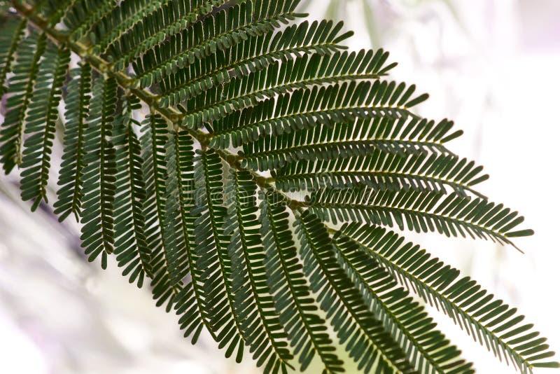 Grüne geteilte Broschüre, Zweig des Mimosenbaums Australischer Akazienbaum mit empfindlichen fernlike Blättern stockbild
