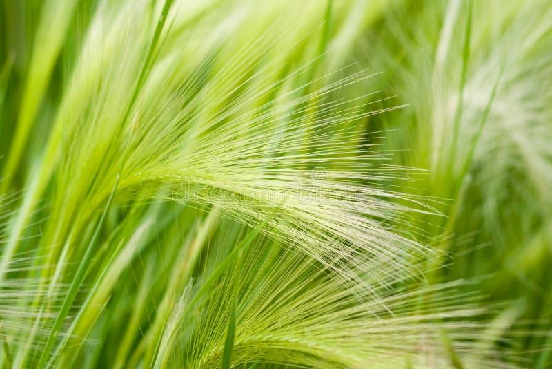Grüne Getreide lizenzfreie stockbilder