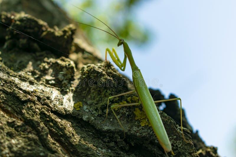 Grüne Gottesanbeterinnahaufnahme, die über der Barke eines alten Baums klettert, lizenzfreie stockfotos