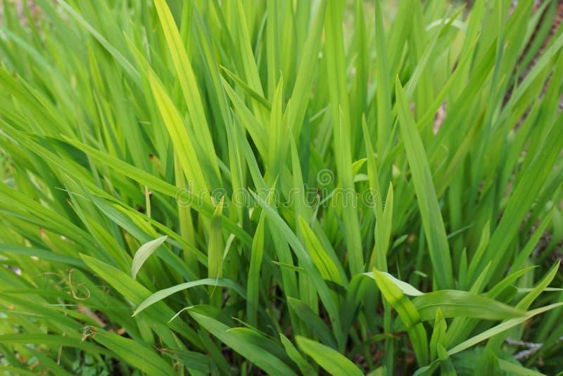 Grüne Gräser stockbild