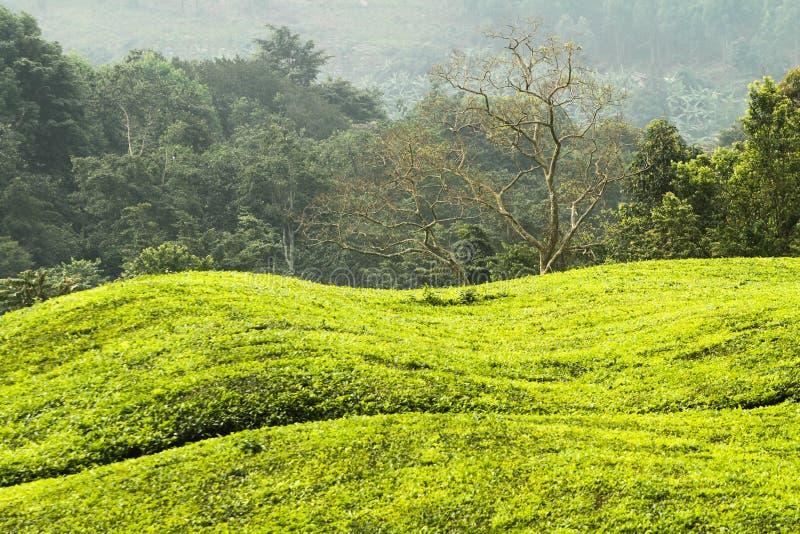 Grüne Hügel in Uganda lizenzfreies stockbild