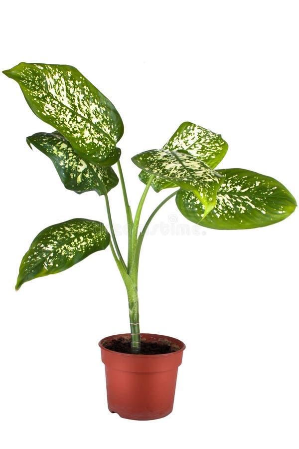 Grüne Hauptanlage im Blumenpotentiometer lizenzfreies stockfoto