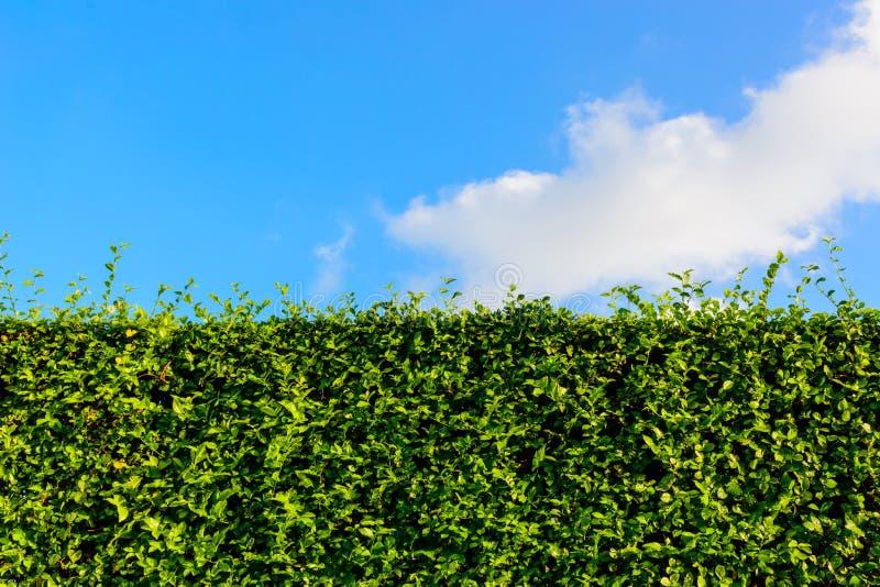 Grüne Hecke mit blauem Himmel stockfotos