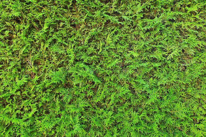 Grüne Hecke, voller Rahmen lizenzfreies stockfoto