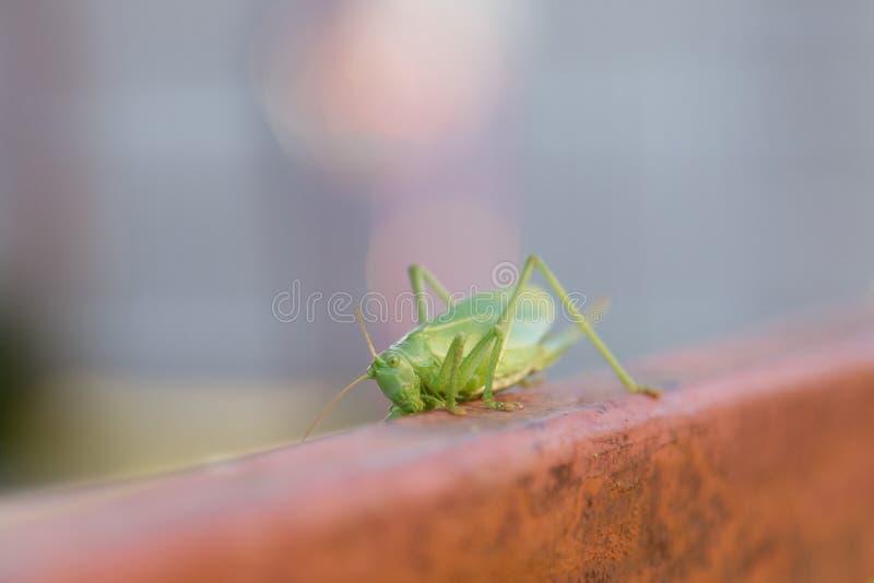 Grüne Heuschrecke auf Zaun lizenzfreie stockfotografie