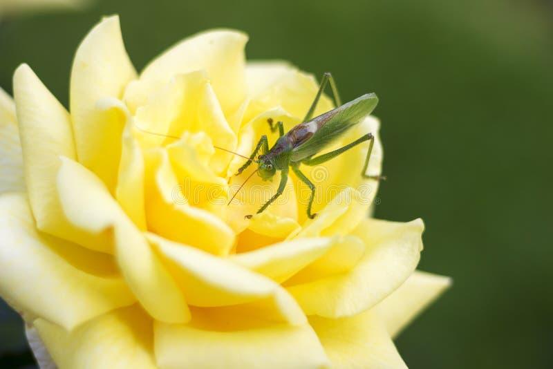 Grüne Heuschrecke, die an auf der gelben Blume sitzt stockbilder