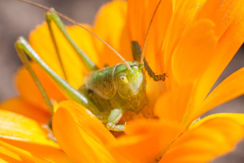 Grüne Heuschrecke, die auf eine Blume in der Blüte einzieht stockbild