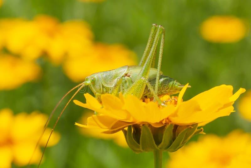 Grüne Heuschrecke, die auf gelber Blume sitzt lizenzfreie stockfotos