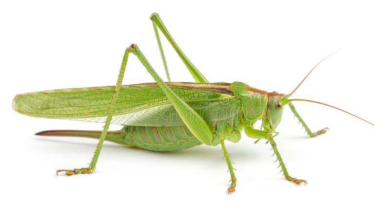 Grüne Heuschrecke getrennt auf Weiß lizenzfreie stockfotos